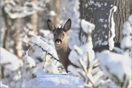 <p>SRNEC OBECNÝ (Capreolus capreolus) Šluknovsko - Valdek   (European roe deer / Europäisches Reh</p>