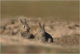 <p>KRÁLÍK DIVOKÝ (Oryctolagus cuniculus) Mladá Boleslav ---- /European rabbit - Wildkaninchen/</p>