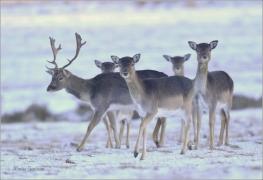 <p>DANĚK SKVRNITÝ (Dama dama) obora Varnsdorf ---- /Fallow deer - Damhirsch/</p>