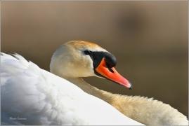 <p>Labuť velká (Cygnus olor) –--- /Mute schwan – Höckerschwan/</p>