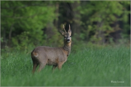 <p>SRNEC OBECNÝ (Capreolus capreolus) Šluknovsko - Valdek --- /European roe deer - Reh/</p>
