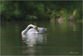 <p>LABUŤ ZPĚVNÁ (Cygnus cygnus) ---- /Whooper swan - Singschwan/</p>