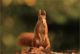 <p>VEVERKA OBECNÁ (Sciurus vulgaris) M. Bolelsav ---- /Red squirrel - Eichhörnchen/</p>
