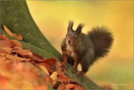 <p>VEVERKA OBECNÁ (Sciurus vulgaris) Mladá Boleslav ---- /Red squirrel - Eichhörnchen/</p>