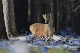 <p>SRNEC OBECNÝ (Capreolus capreolus) Šluknovsko - Harta --- /European roe deer - Reh/</p>