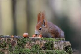 <p>VEVERKA OBECNÁ (Sciurus vulgaris) ---- /Red squirrel - Eichhörnchen/</p>