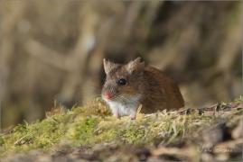 <p>MYŠICE TEMNOPÁSÁ (Apodemus agrarius) –--- /Stripted field mouse – Brandmaus/</p>