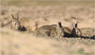 <p>KRÁLÍK DIVOKÝ (Oryctolagus cuniculus) - Mladá Boleslav ---- /European rabbit - Wildkaninchen/</p>