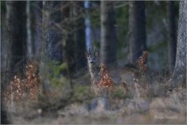 <p>SRNEC OBECNÝ (Capreolus capreolus) Šluknovsko - Valdek /European roe deer - Reh/</p>