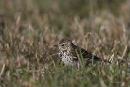 <p>LINDUŠKA LUČNÍ (Anthus pratensis)   /Meadow pipit - Wiesenpieper/</p>