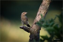 <p>KRUTIHLAV OBECNÝ (Jynx torquilla) - jižní Morava ----/Eurasian wryneck - Wendehals/</p>
