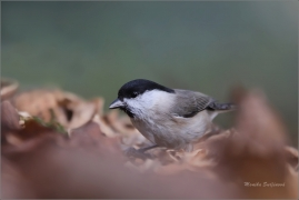 <p>SÝKORA LUŽNÍ (Parus montanus) --- /Willow tit - Weidenmeiase/</p>