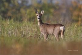 <p>SRNEC OBECNÝ (Capreolus capreolus) Šluknovsko - Jiříkov   (European roe deer / Europäisches Reh</p>