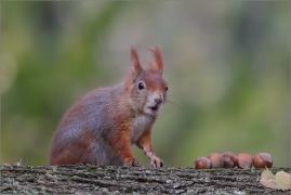 <p>VEVERKA OBECNÁ (Sciurus vulgaris)    /Red squirrel - Eichhörnchen/</p>